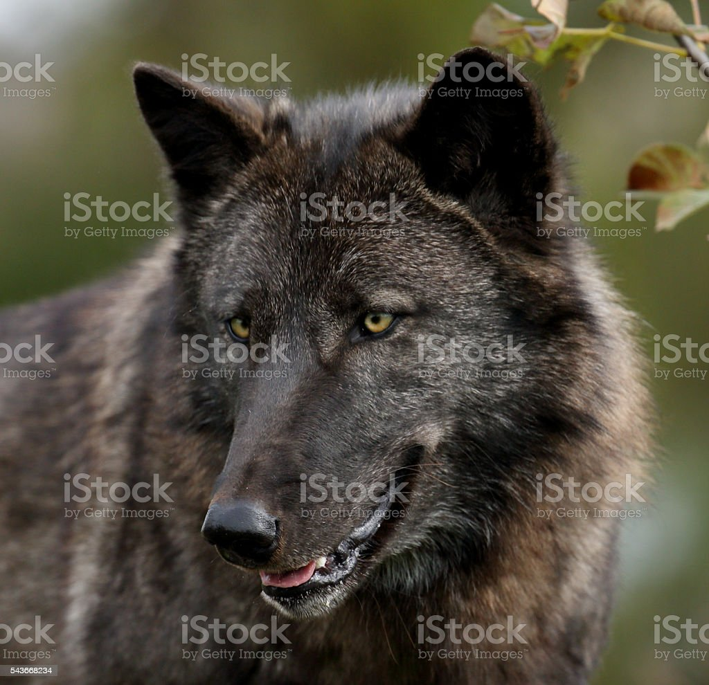 Black wolf closeup staring down to the left stock photo