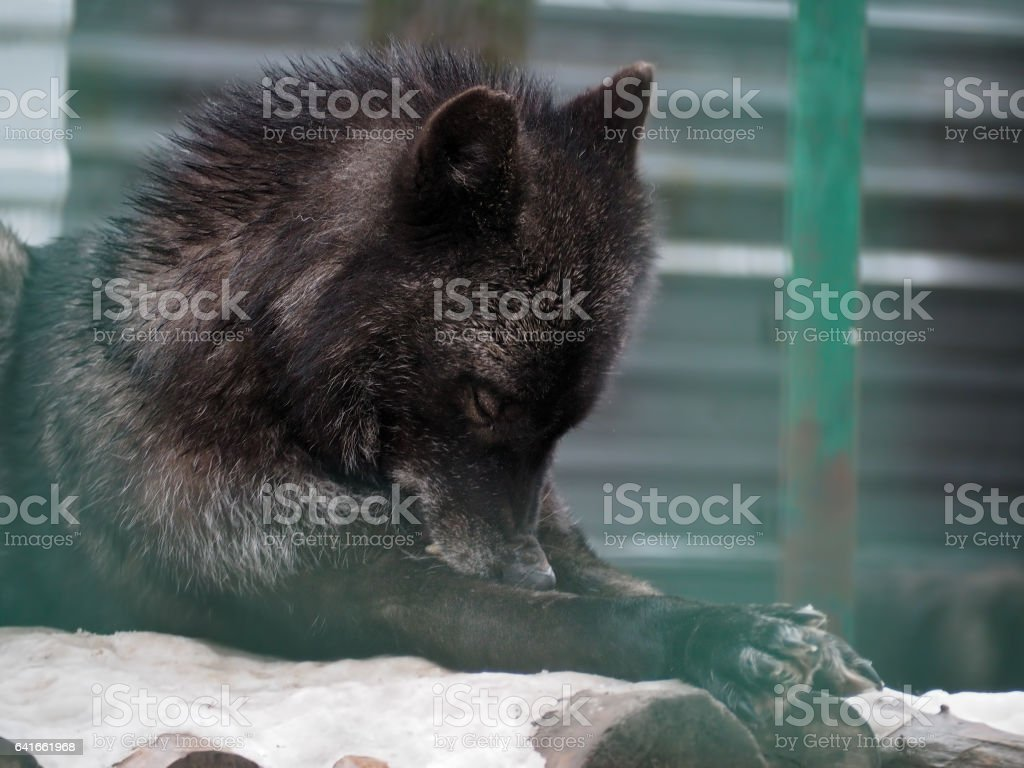 Black wolf laying at the snow stock photo