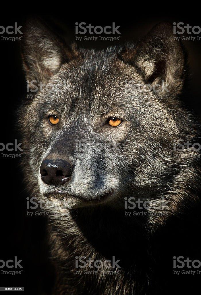 Black Wolf Portrait stock photo