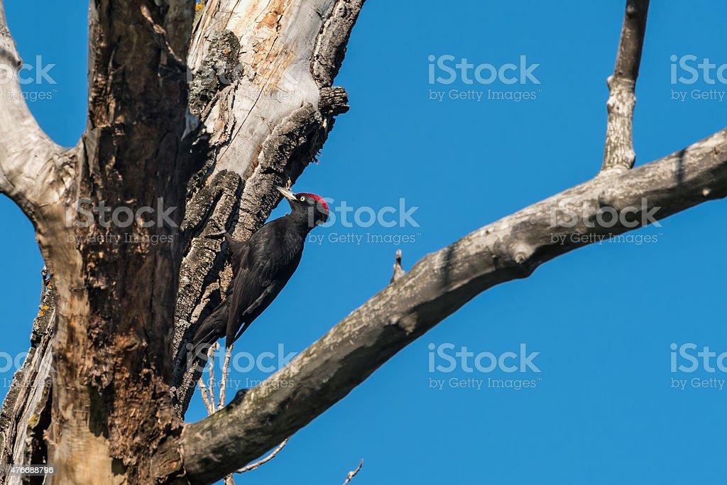 black woodpecker bird tree stock photo