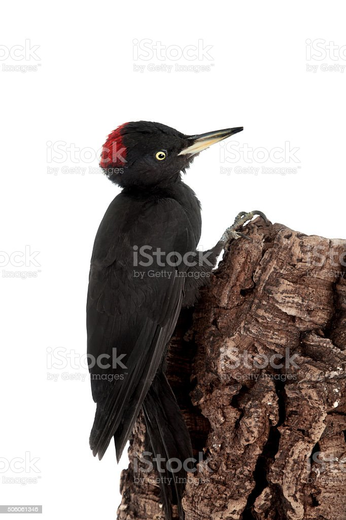 Black Woodpecker, Dryocopus martius, on white stock photo