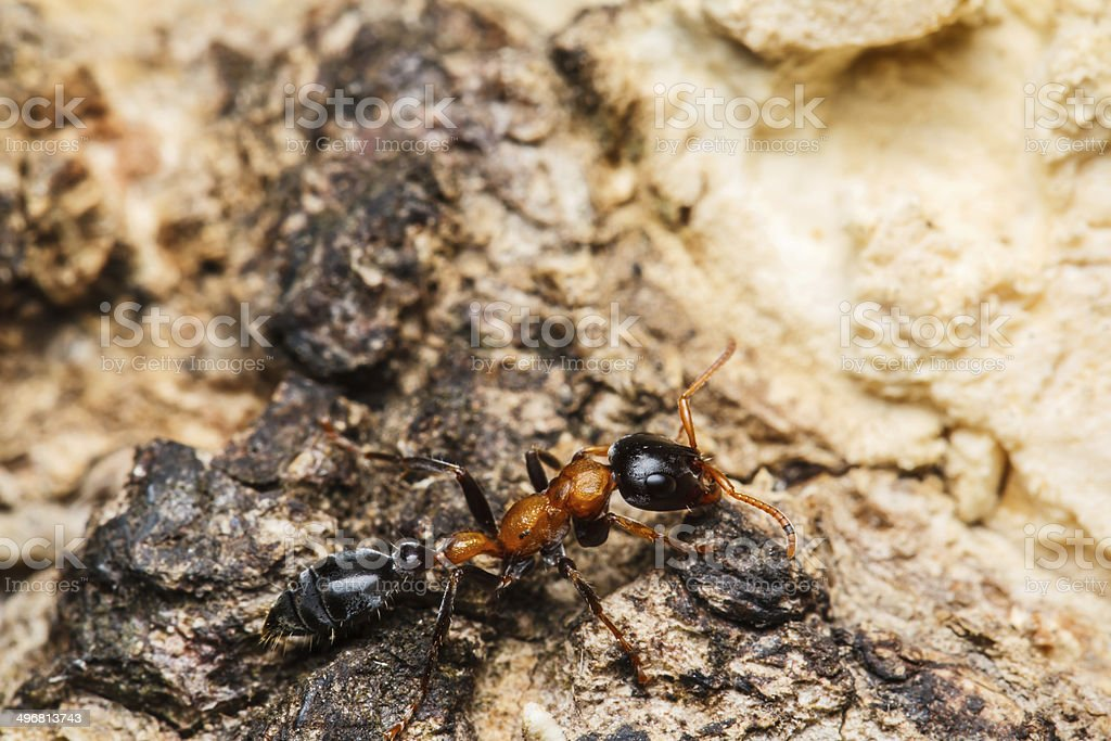 Black worker ants royalty-free stock photo