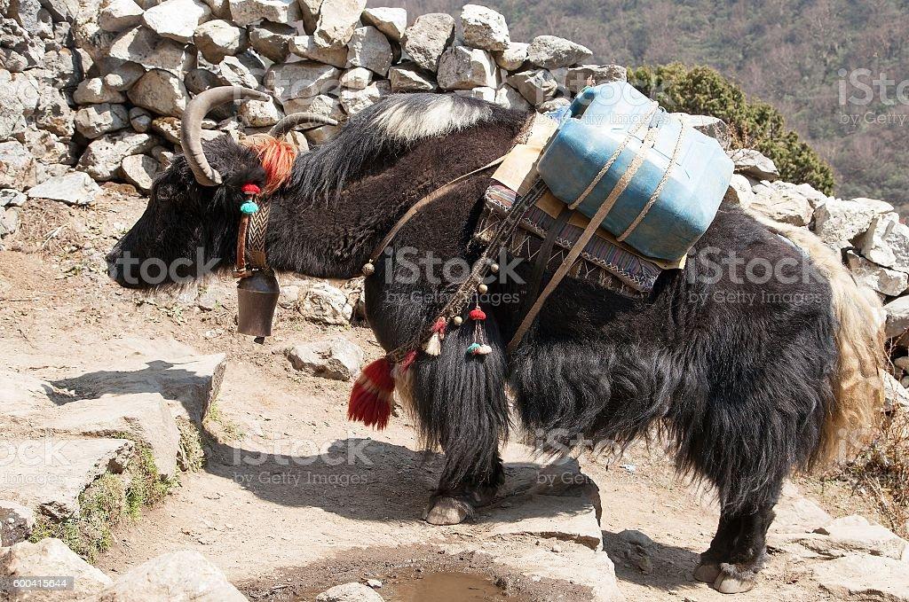 Black yak - bos grunniens or bos mutus stock photo
