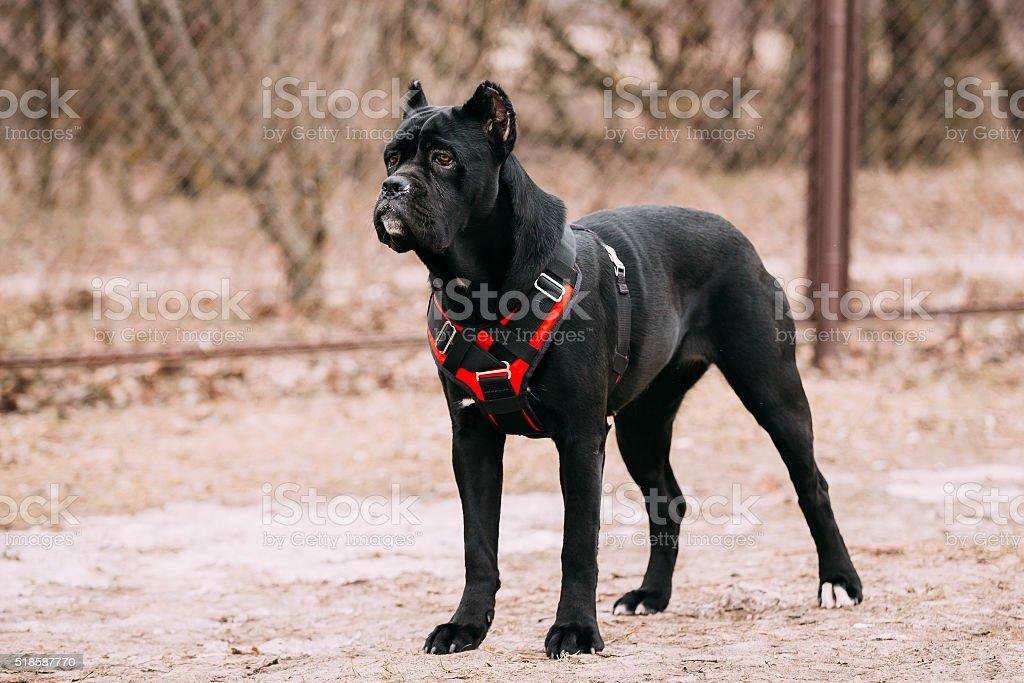 Black Young Cane Corso Puppy Dog Outdoors. stock photo
