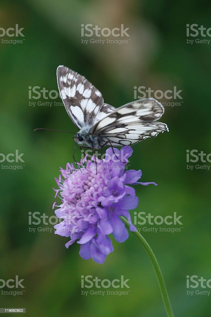 Black-and-white butterfly stock photo