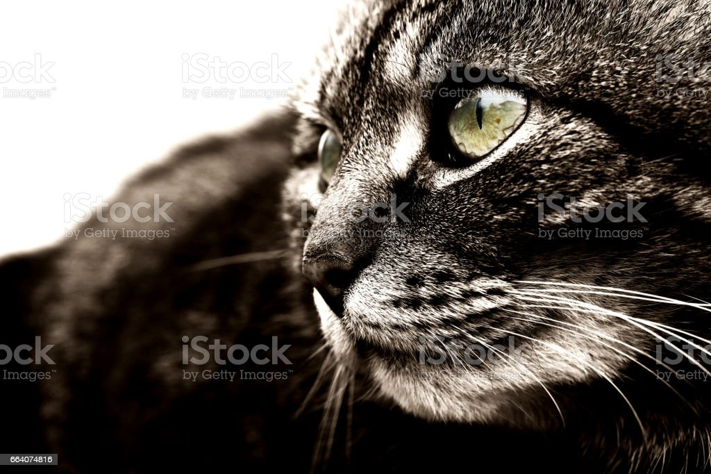 Black-and-white close-up of a pretty cat stock photo