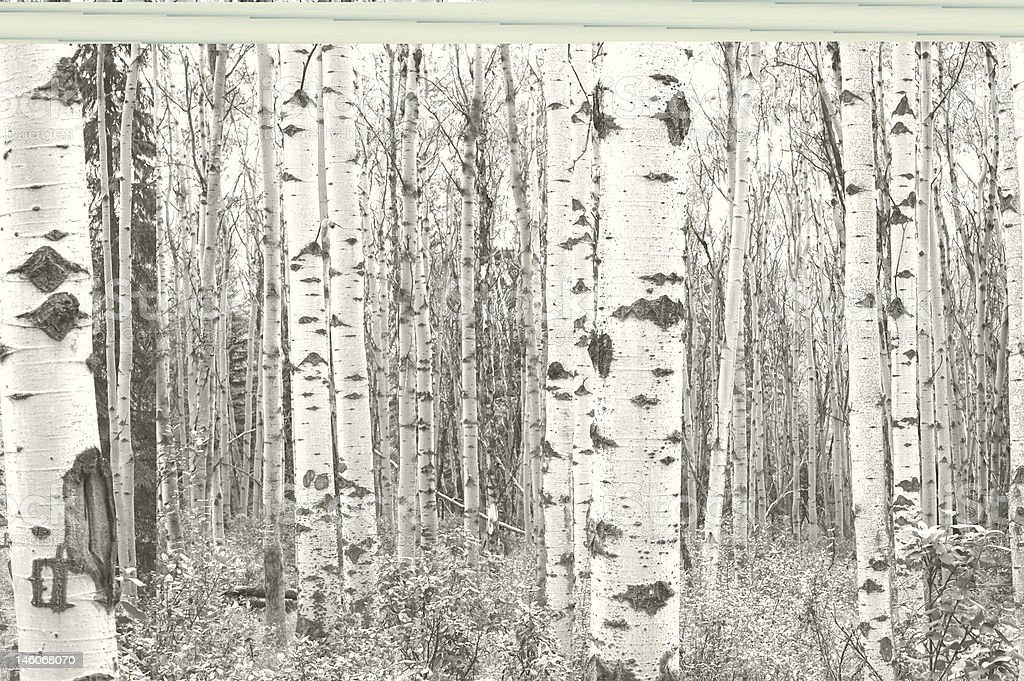 Black-and-white image of a birch trees royalty-free stock photo