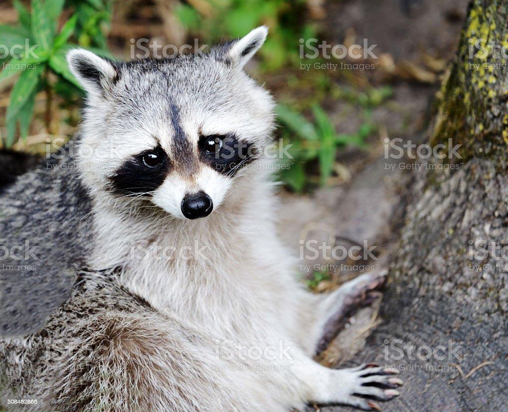 Black-and-white Raccoon stock photo