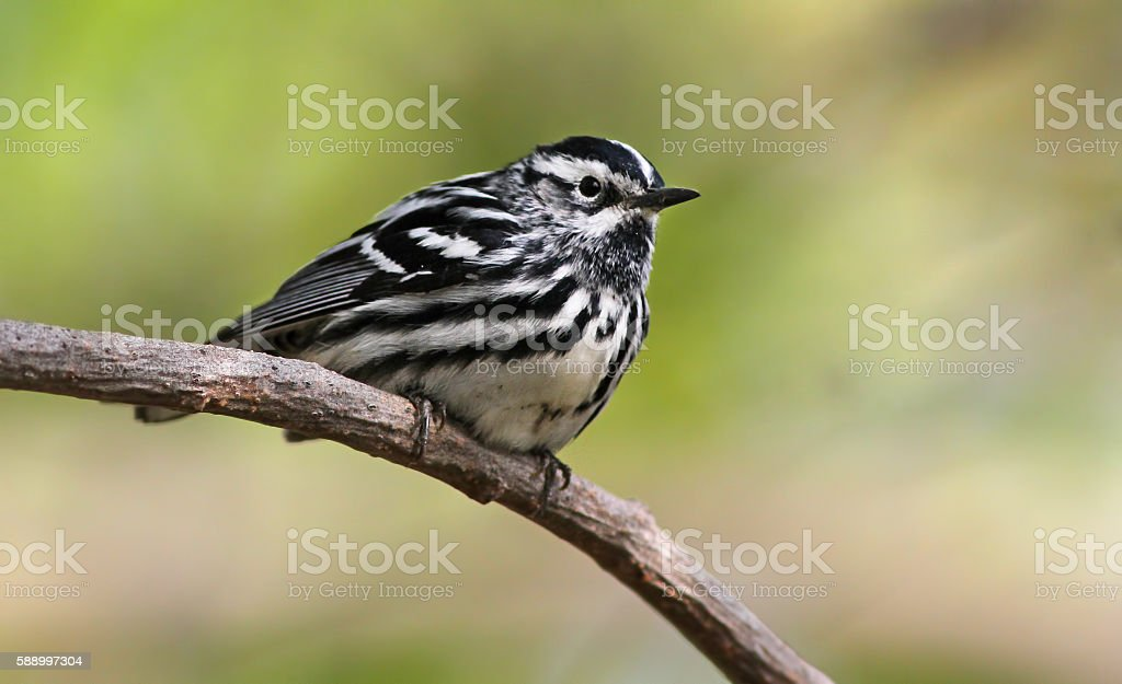Black-and-white warbler stock photo