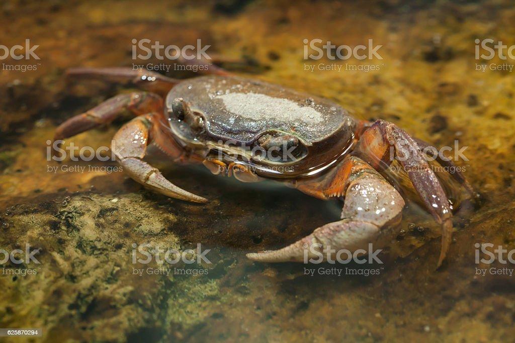Blackback land crab (Gecarcinus lateralis) stock photo