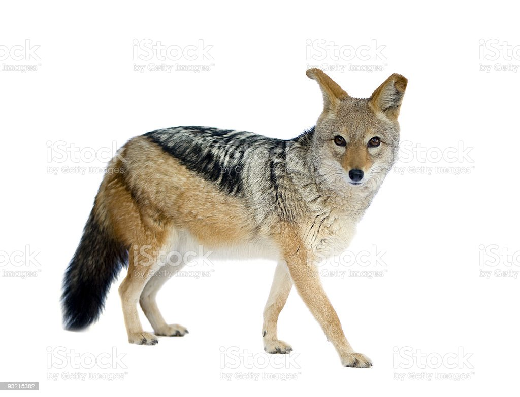 black-backed jackal - Canis mesomelas stock photo