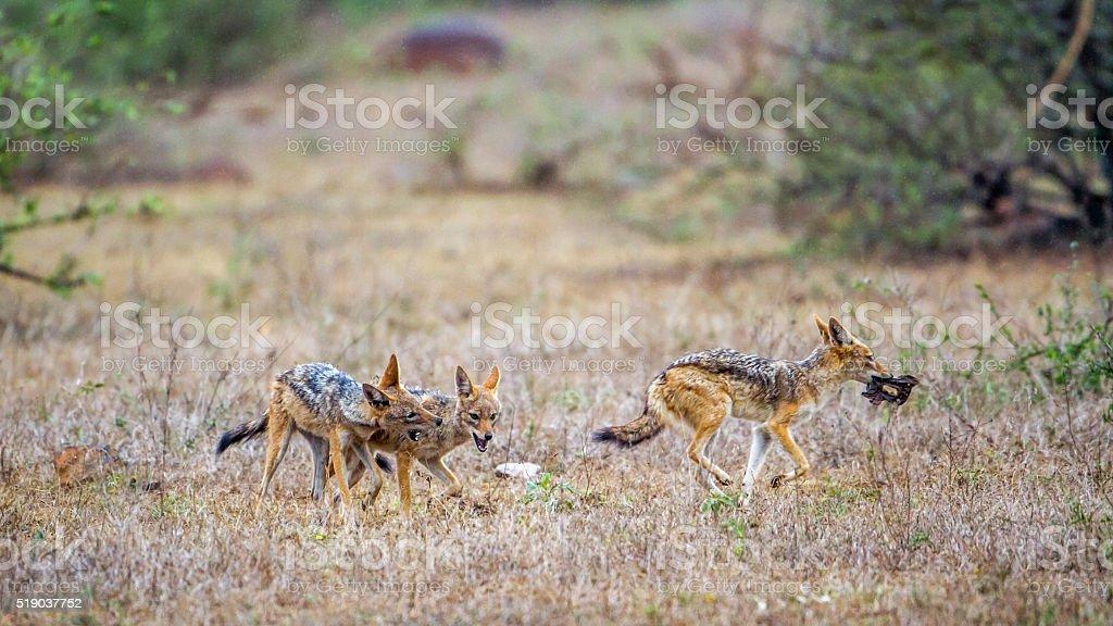 Black-backed jackal in Kruger National park, South Africa stock photo