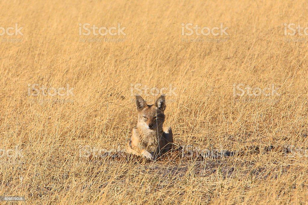 Black-backed jackal in Moremi, Okavango Delta, Botswana stock photo
