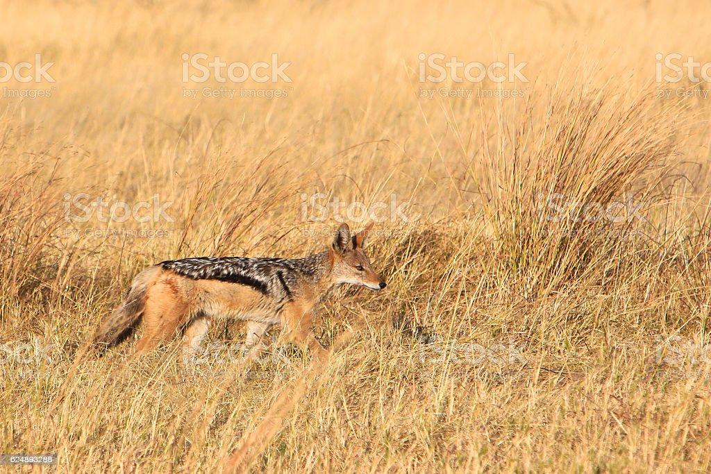 Black-backed jackal in Savuti, Chobe National Park, Botswana stock photo