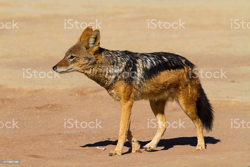 Black-backed Jackal in the desert stock photo