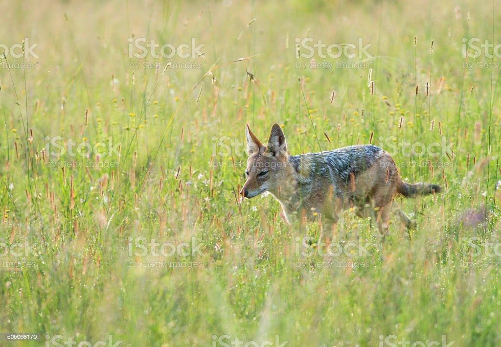 Black-backed jackal in veld stock photo