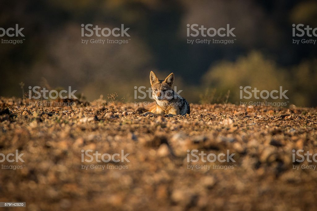 A Black-backed jackal laying on the ground. stock photo