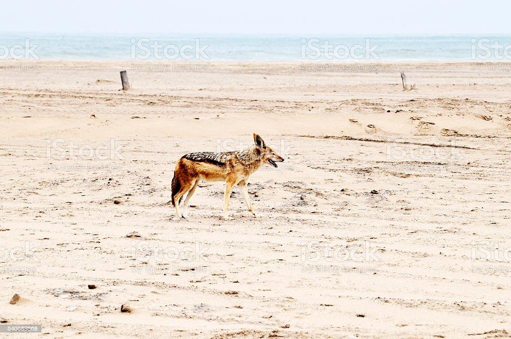 Black-backed jackal on the beach near Walvis Bay,Namibia stock photo