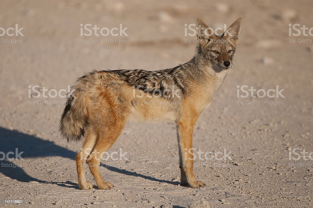 Black-backed jackal stock photo