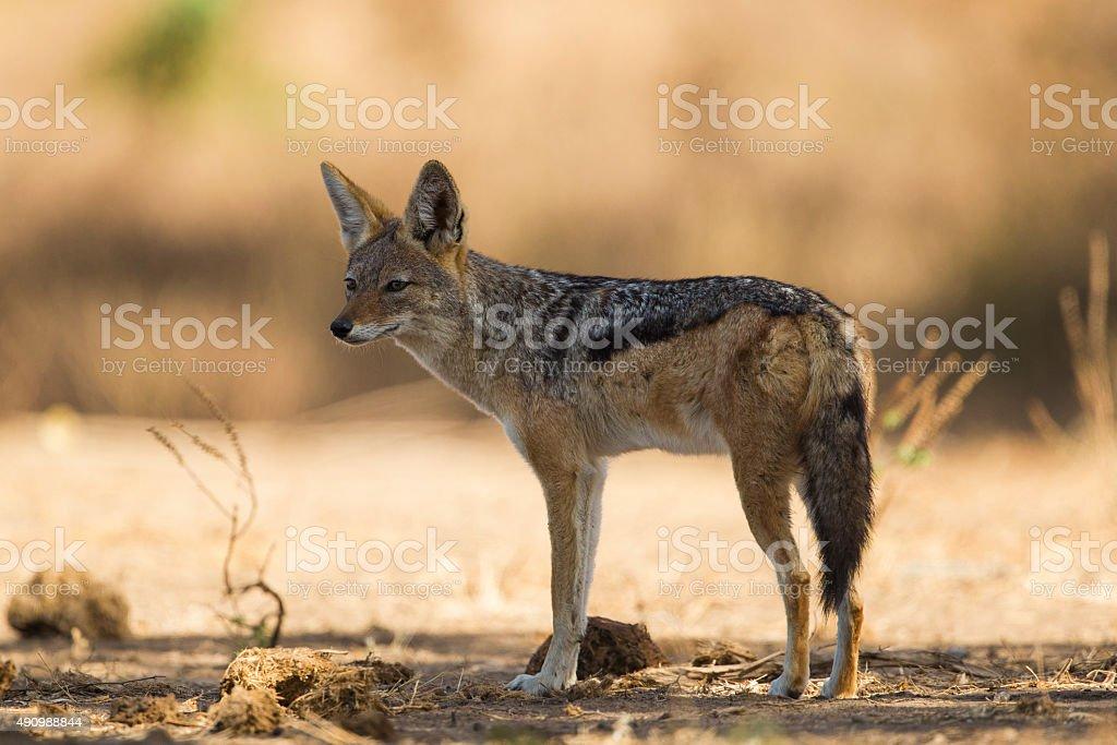Black-backed Jackal (Canis mesomelas) stock photo