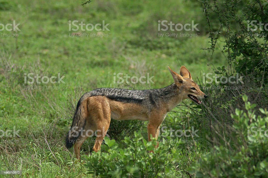 Black-backed Jackal stock photo