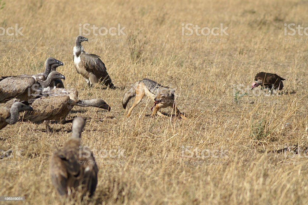 Black-backed jackal & White-backed vultures stock photo