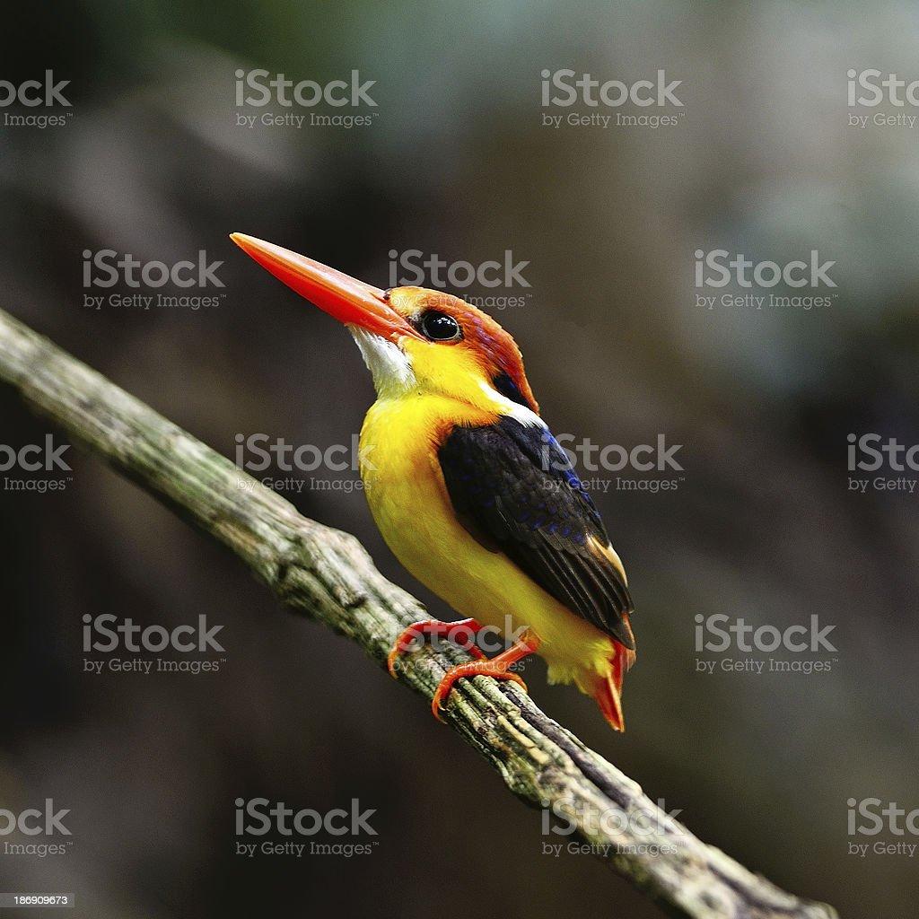 Black-backed Kingfisher stock photo