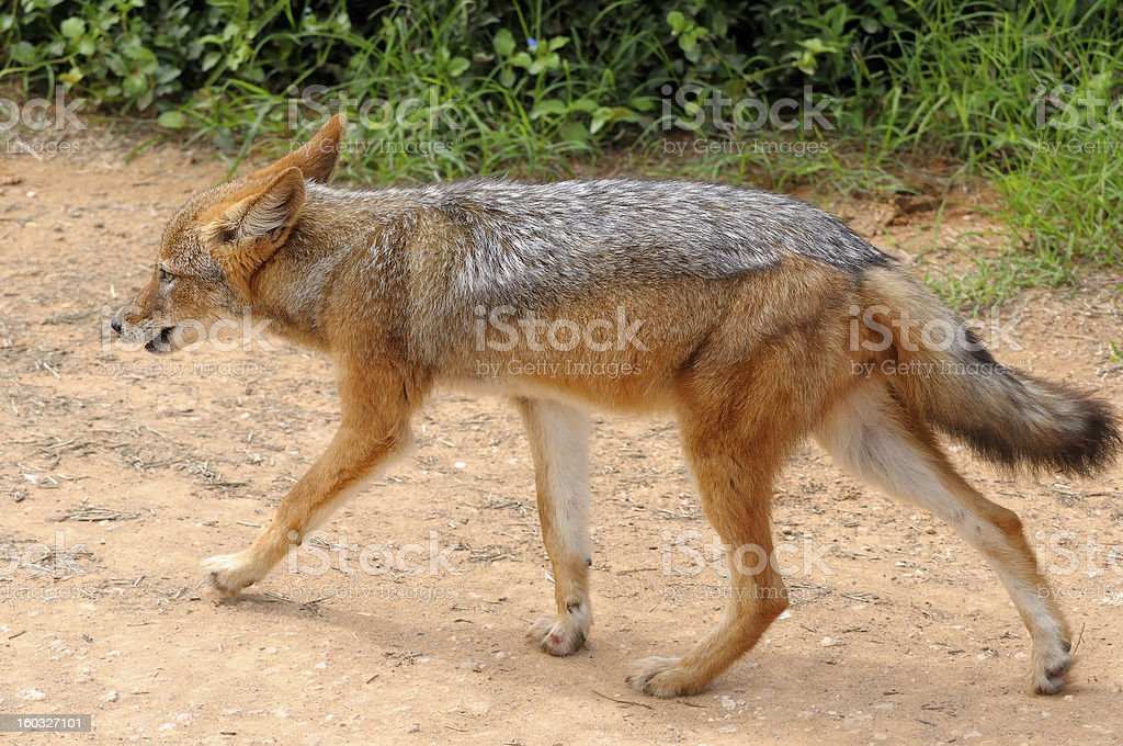 Black-backed, silver-backed or red jackal royalty-free stock photo