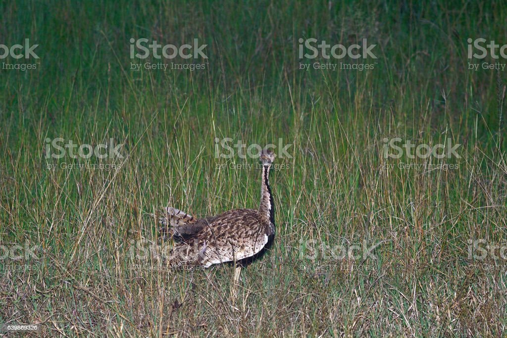 Black-bellied bustard, Maasai Mara Game Reserve, Kenya stock photo