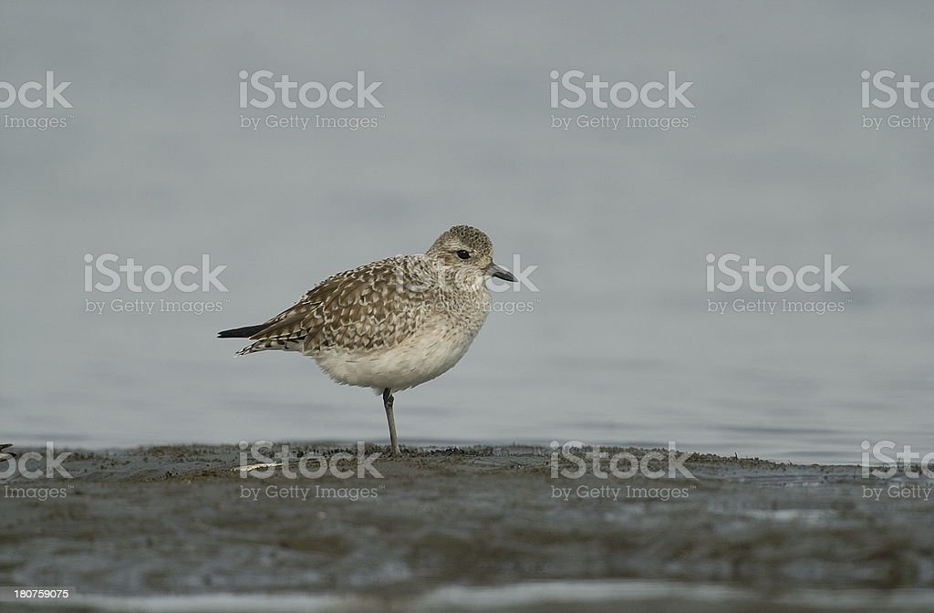 Black-bellied Plover royalty-free stock photo