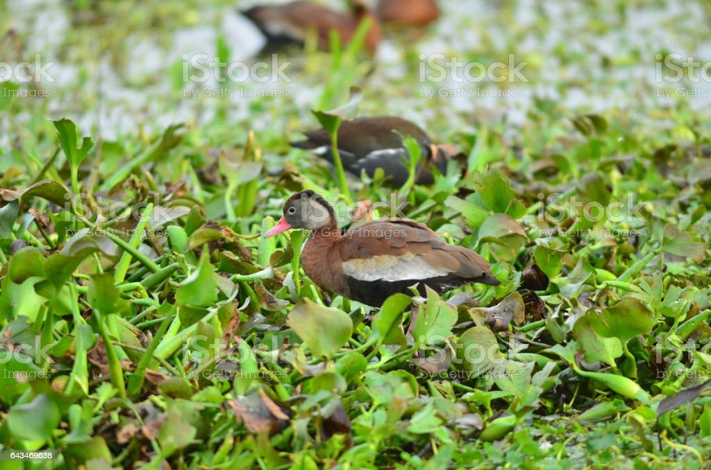 Black-bellied Whistling duck on map of water hyacinth stock photo