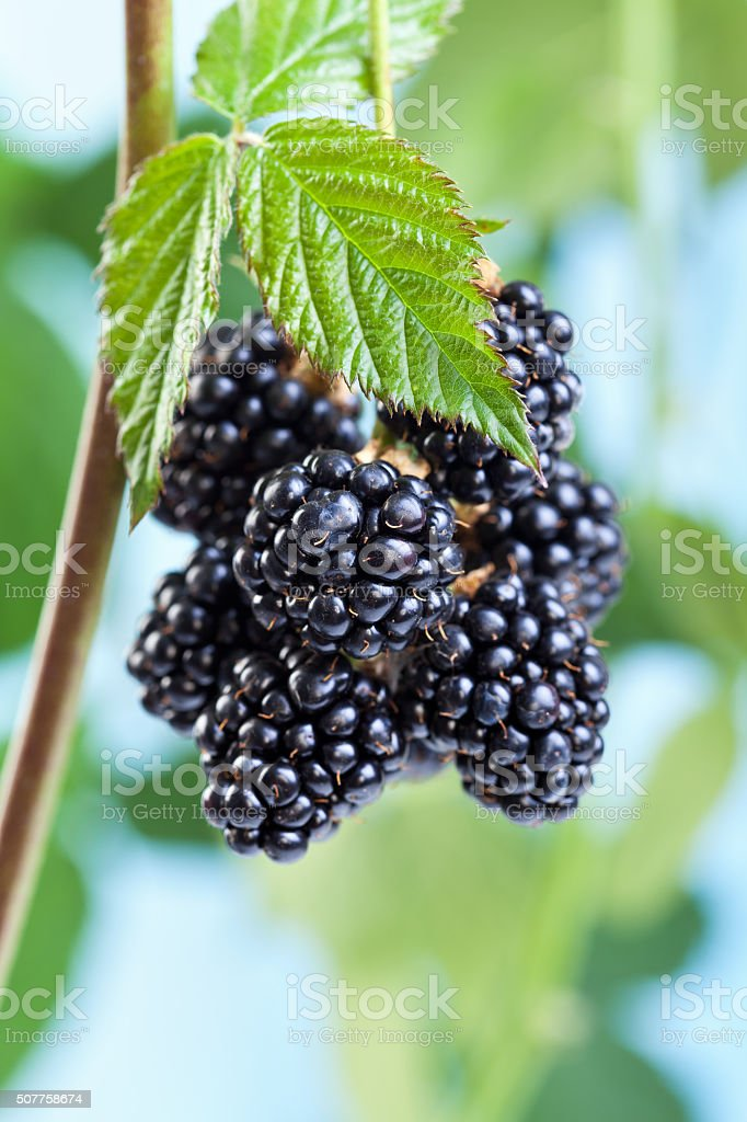 Blackberries growing and ripening on the twig stock photo