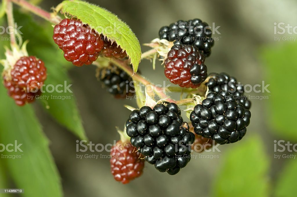 Blackberries - Nature food royalty-free stock photo