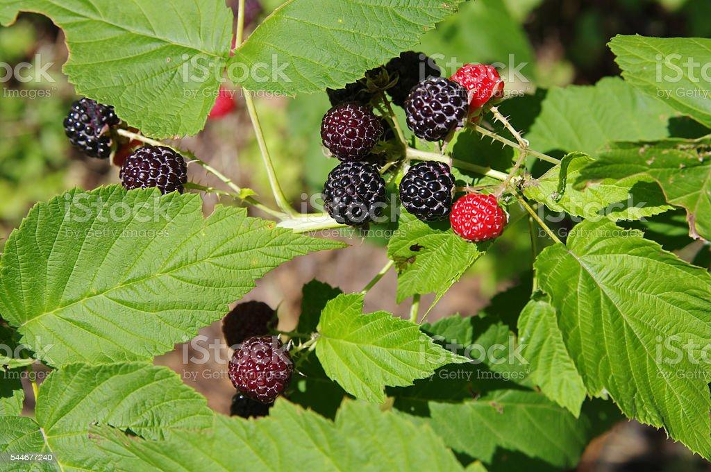Blackberries on a branch closeup stock photo