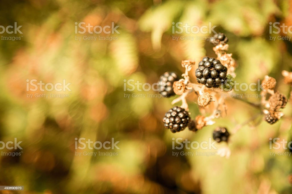 blackberries, or brambles, ripening in hedgerow stock photo