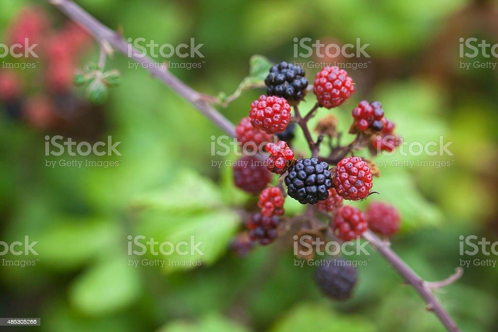Blackberries Ripening. stock photo