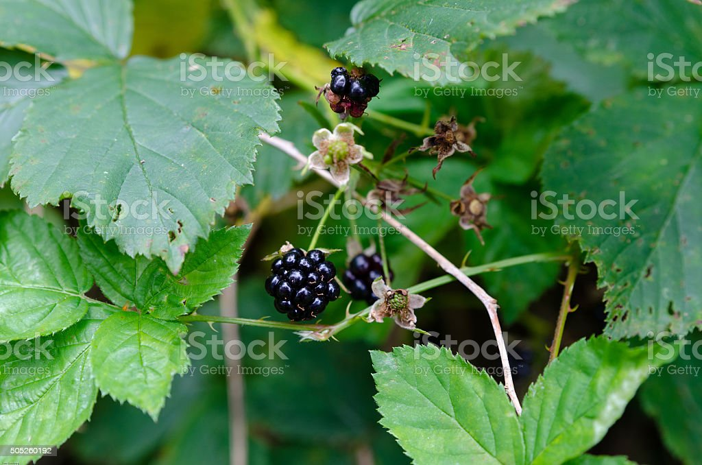 Blackberry and leaf stock photo