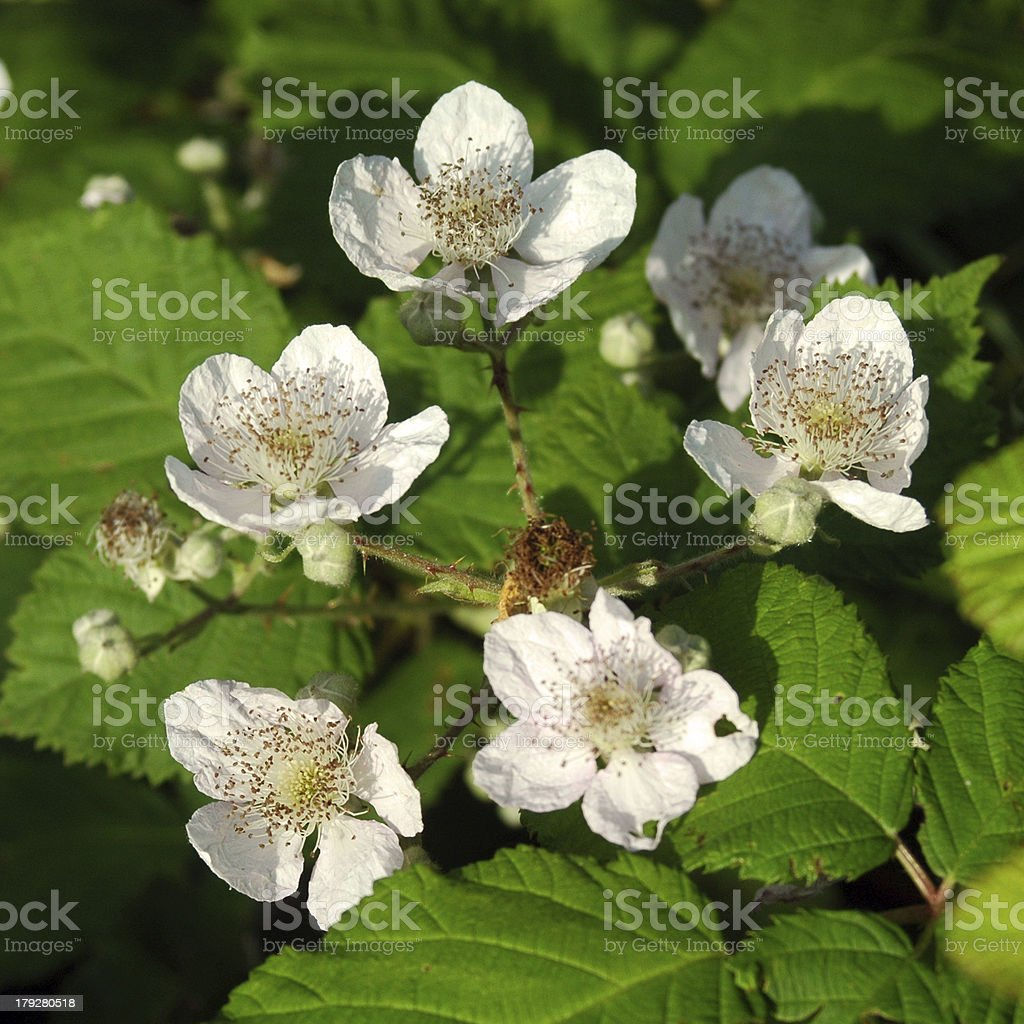 Blackberry blossoms royalty-free stock photo