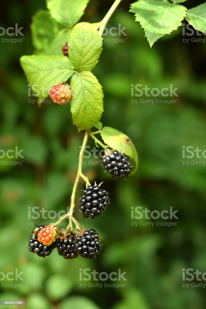 Blackberry branch with berries stock photo