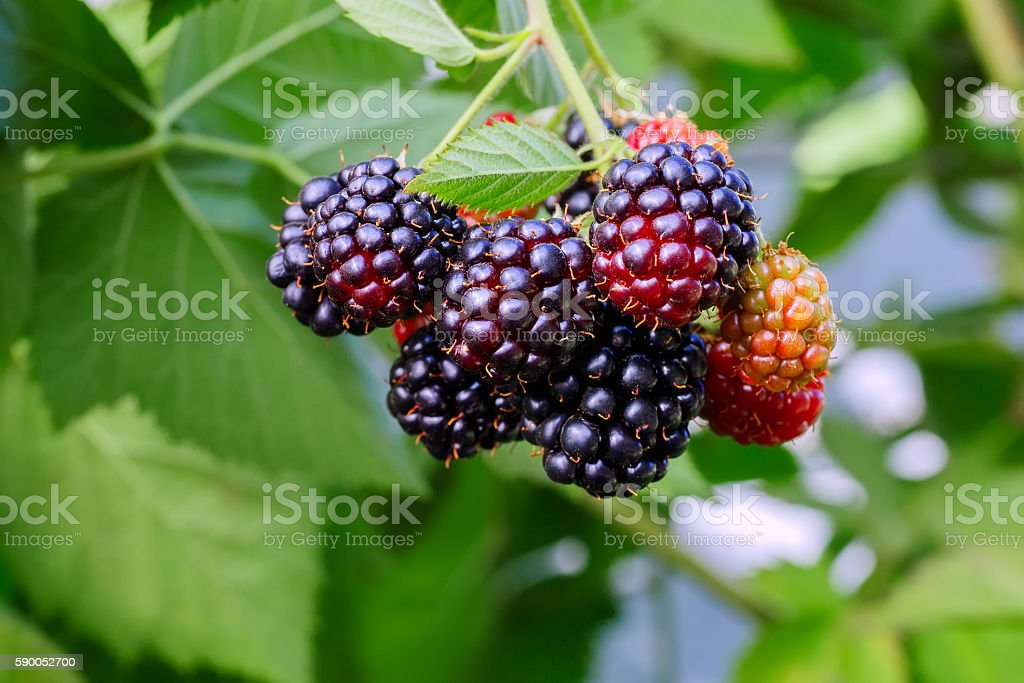 Blackberry bush in the garden with selective focus stock photo