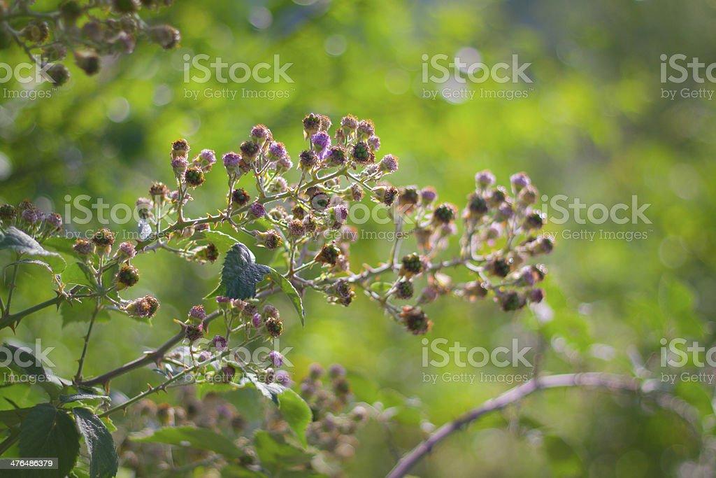 Blackberry bush royalty-free stock photo