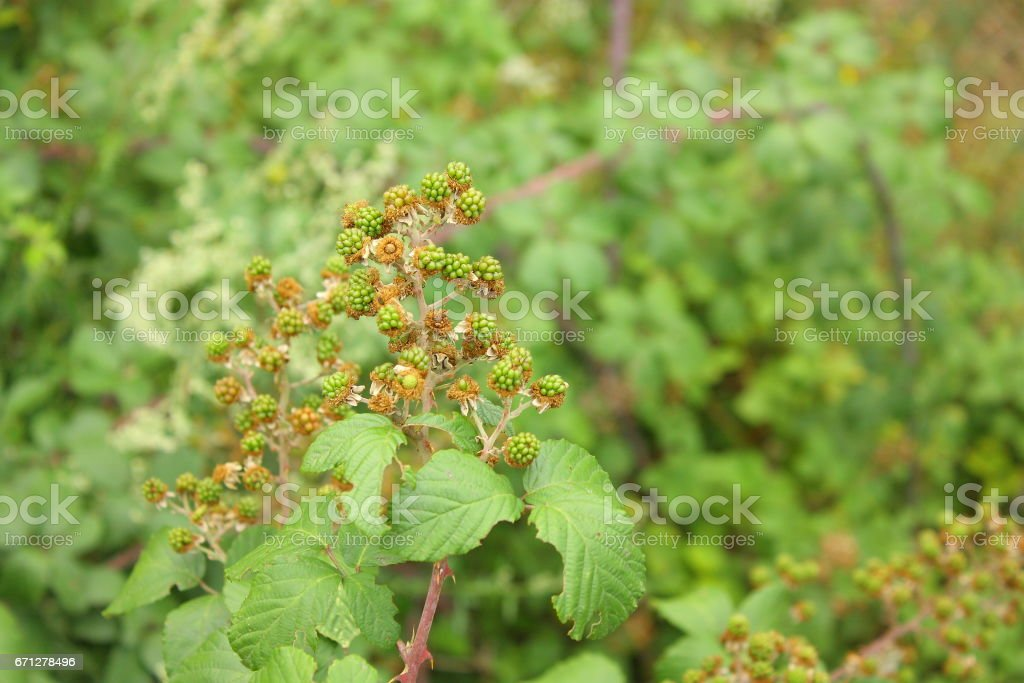 blackberry fruit and plant stock photo