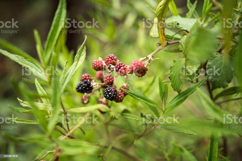 Blackberry crescendo na filial foto royalty-free