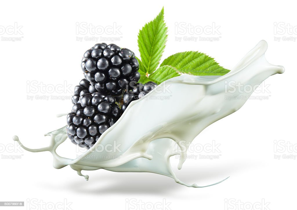 Blackberry is falling into milk. Splash isolated on white background stock photo