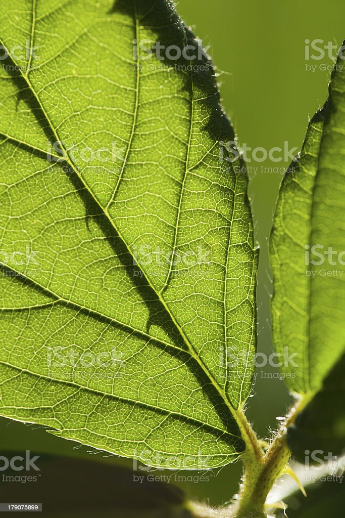Blackberry leaf stock photo