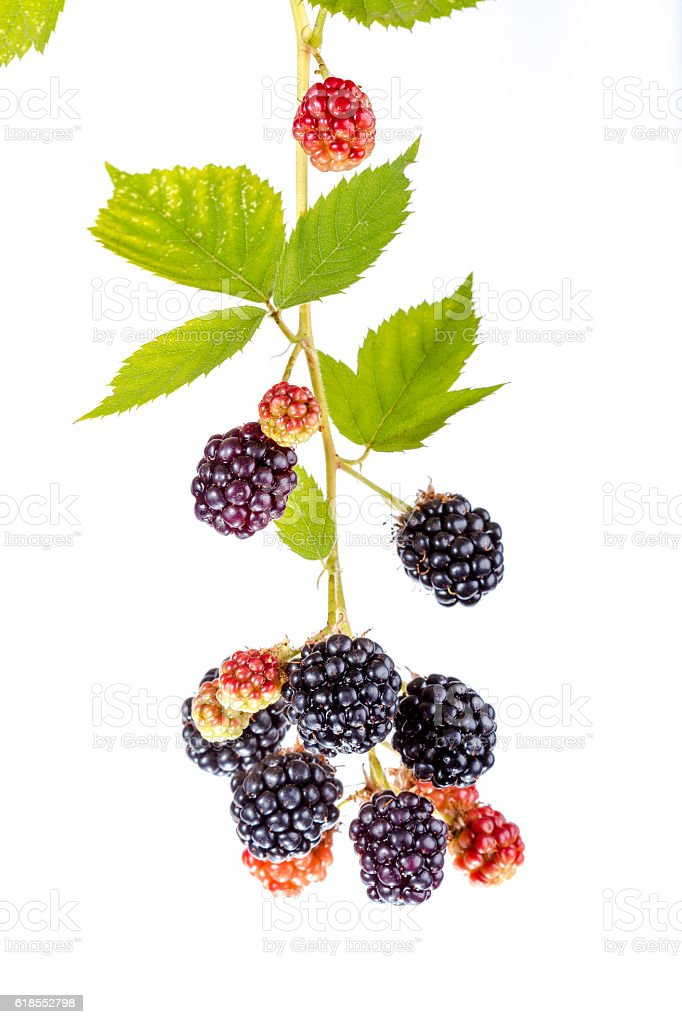 Blackberry on a branch stock photo