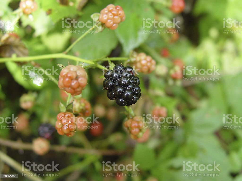 blackberry royalty-free stock photo
