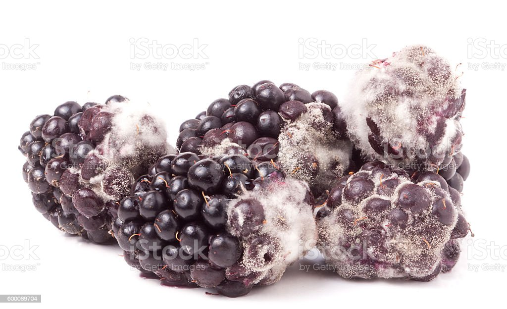 Blackberry tainted with mold isolated on white background stock photo
