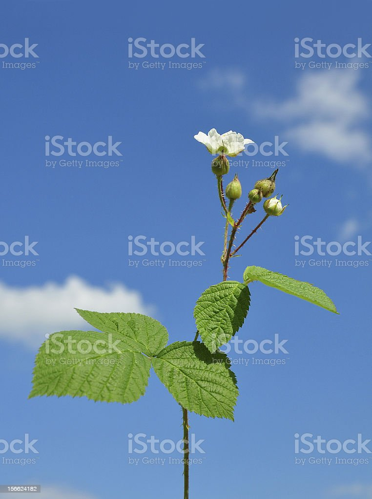 Blackberry with flower royalty-free stock photo