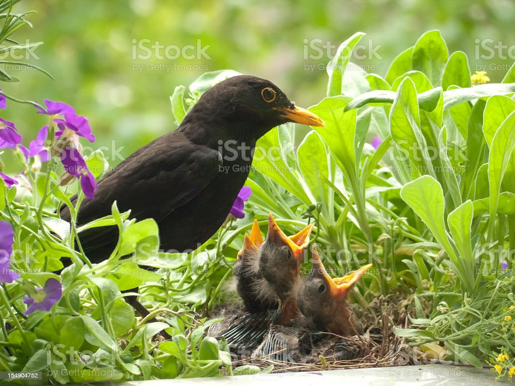 Blackbird babies and  father royalty-free stock photo